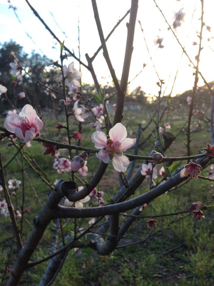 Peachbuds