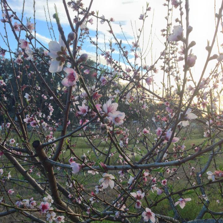Peaches Blooming
